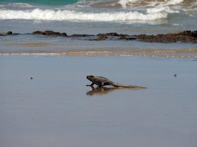 Isabella_beach_iguana.jpg