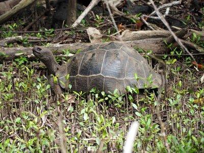 Isabella_island_tortoise.jpg