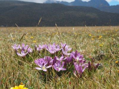 alpine_flowers_1.jpg
