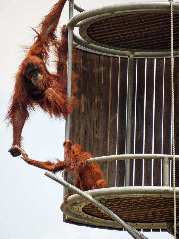 large_orangs_at_play_perth_zoo.jpg