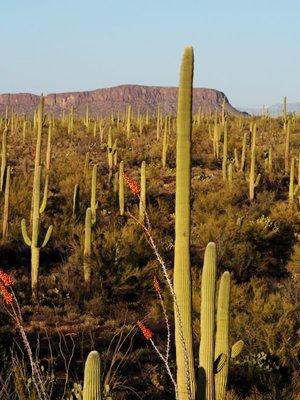 saguaro_an..illo_Tuscon.jpg
