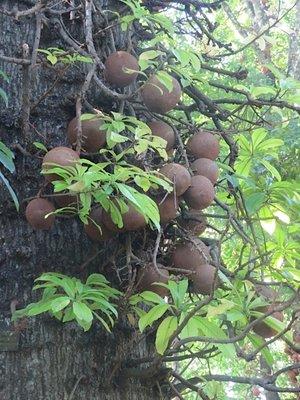 Canonball trees