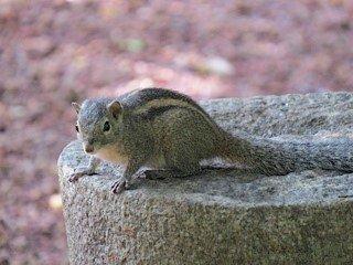 Squirrels at wallows
