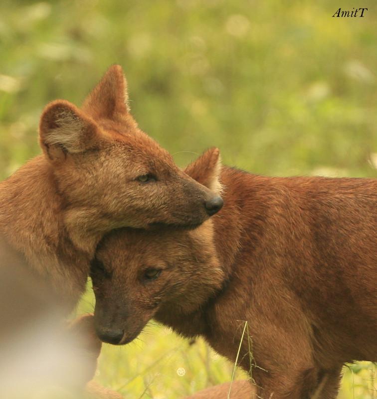 Wild dogs cuddling