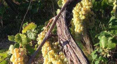 Il_Nettare_Grapes.jpg