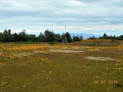 Keflavik_wildflowers.jpg