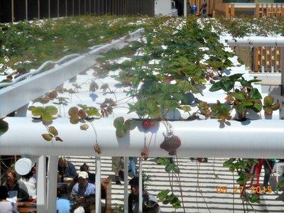 Milan_Expo_strawberries.jpg
