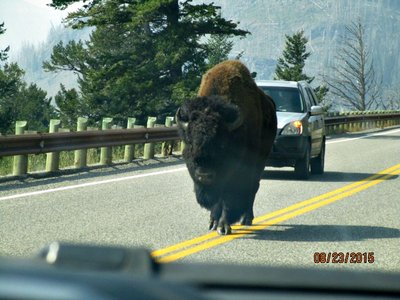 YEL_bison_on_road.jpg
