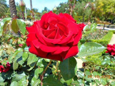 sevilla_PML_rose_red.jpg