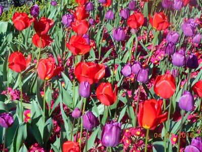 tulips_purple_red.jpg