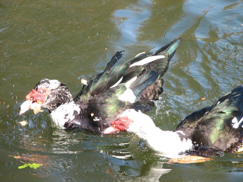 turkey duck swan?