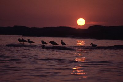 Seagulls in the sunset.