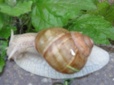 Large snail that greeted us