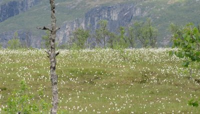 Field of white flowers at high elevation