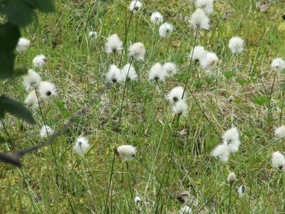 Close up of white fluffy flowers