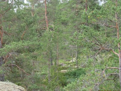 Typical Finland forest