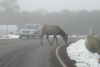 IMG_2802a elk - a surprise visitor