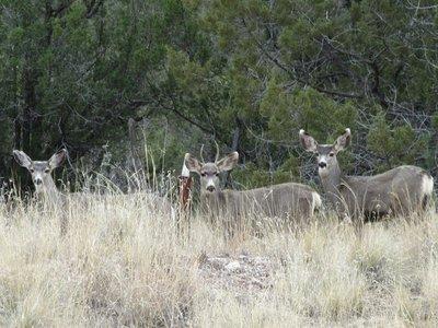 Mule deer by the road