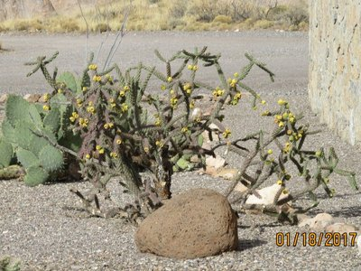Blooming Cane Cholla
