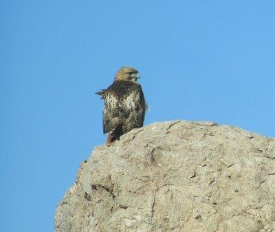 Hawk on a Rock