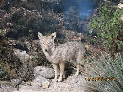 Stuffed Wile E. Coyote