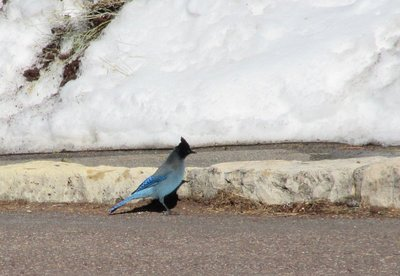 Second picture Stellar Jay