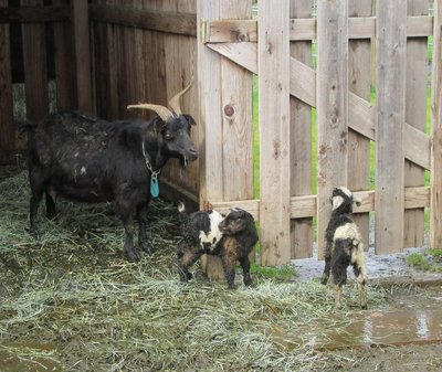Baby Tennessee Fainting Goats