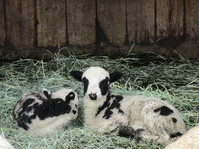 Baby Four-Horned Sheep