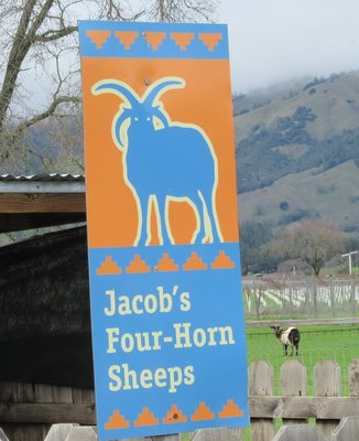 Jacob's Four-Horn Sheep