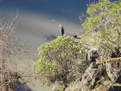 Great Blue Heron by Rogue River