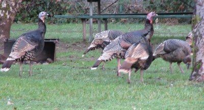Wild turkeys at Indian Mary Park