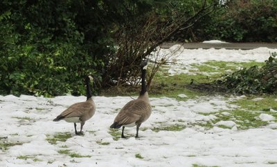 Geese stroll through the snow