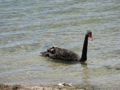 Black Swan - do not mess with me