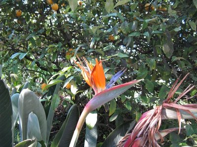 Bird of Paradise Flower in our yard