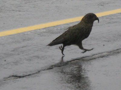 A Kea bird on the road near Homer Tunnel