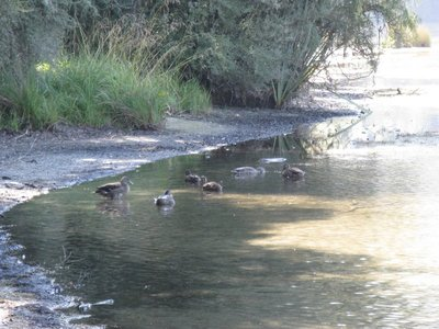 Ducks on Lake Rotoroa