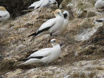 Gannet parents and chick