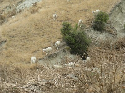 Sheep in a nearby pasture