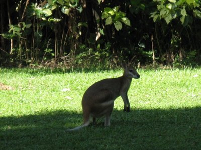 Wallaby in Trinity Beach park