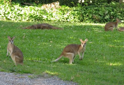 Three wallabies