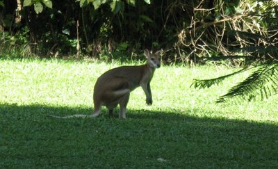 Wallaby in park