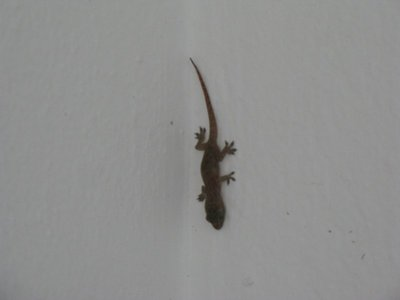 Little gecko maybe 1.5  inches