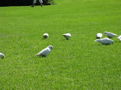 Corellas feeding on the lawn