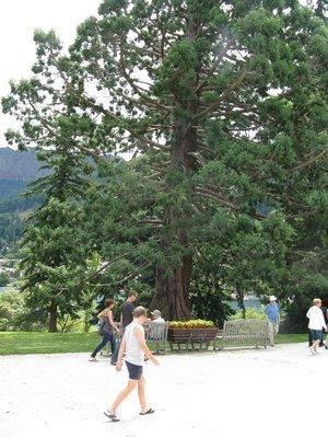Sequoia at gate of garden