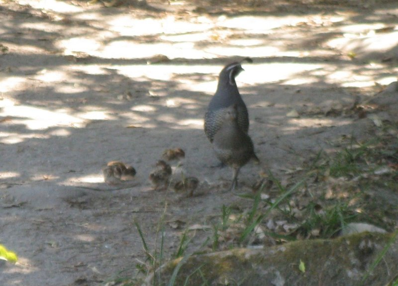 California Quail Family - introduced species