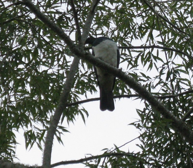 New Zealand Pigeon or Kereru