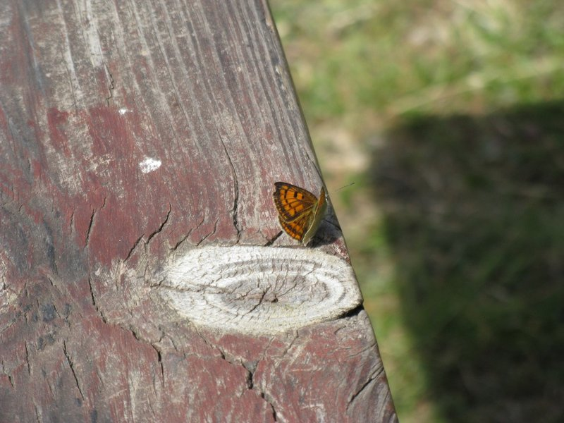 Butterfly on picnic bench