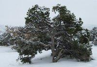 IMG_2668 Gnarly juniper