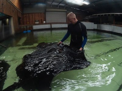 In the water with Raspy, a 300kg stingray