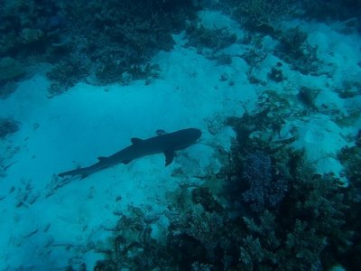 Reef Shark on the bottom